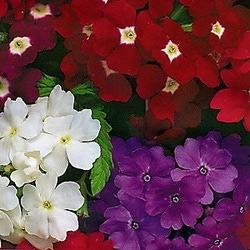 Вербена Флорист