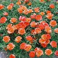 Портулак махровый Драгоценность оранжевый