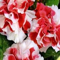 Петуния Многоцветковая ДУО красно-белая