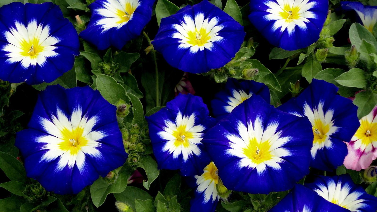 Вьюнок Мозаика темно-голубой