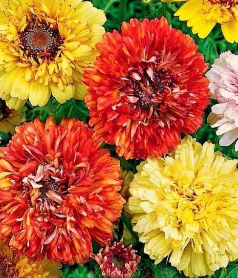 Хризантема махровая садовая Дунетти