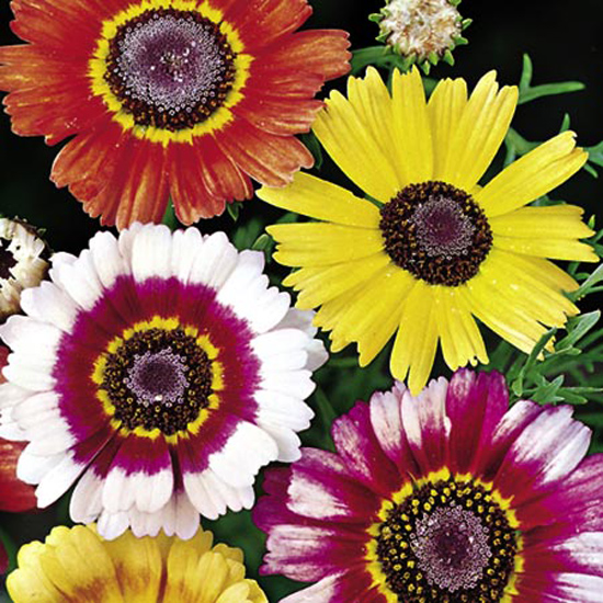 Хризантема трехцветная Радуга