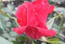 Сохранить розы зимой